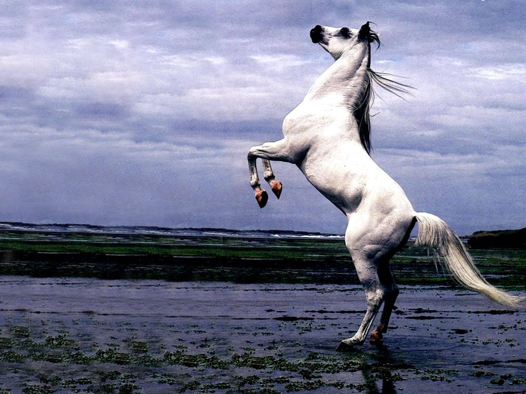 Arabian Horse Images The Equine Bree...