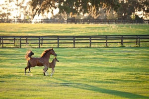 Equine, horse, breeding, equine reproduction, mare, foal